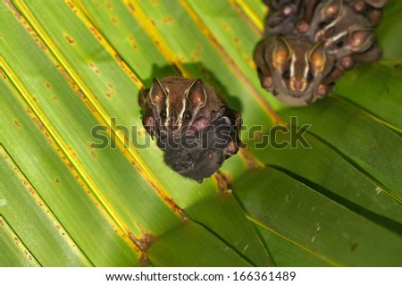 Tent-Making Bat, Uroderma bilobatum, with baby nestled up against her tummy , Caribbean, Costa Rica - stock photo