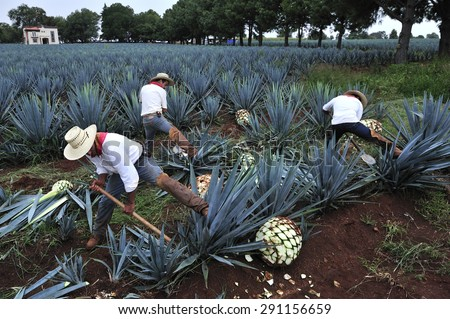 Tequila, Jalisco, Mexico : October.11. 2013: Farmer harvesting the blue agave for Tequila production, town of Tequila, Jalisco, Mexico  - stock photo