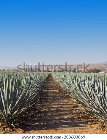 Tequila landscape agave field in Guadalajara, Jalisco, Mexico. - stock photo