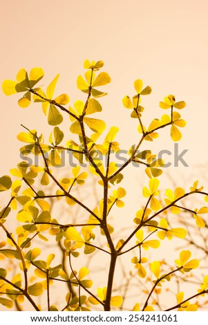 Terminalia ivorensis leaf in yellow color and warm sky - stock photo