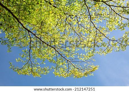 Terminalia ivorensis tree and blue sky in sunshine day    - stock photo