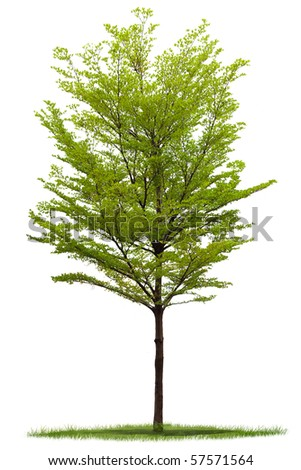 Terminalia Tree and grass against a white background