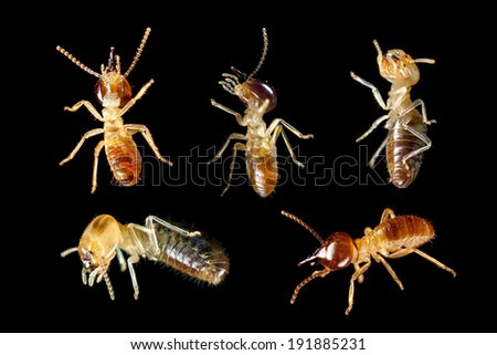 termite white ant - stock photo