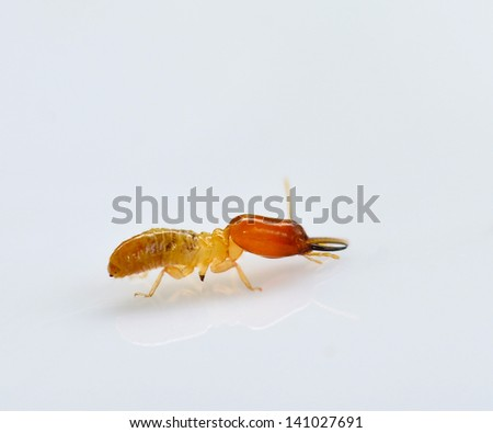 termite white ant isolated on Gray Backdrop 	 - stock photo
