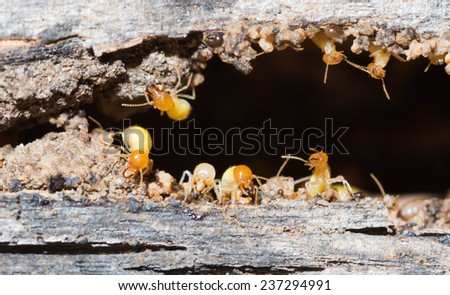 Termites are nesting in the timber. - stock photo