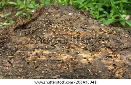 Termites on a plank of wood - stock photo