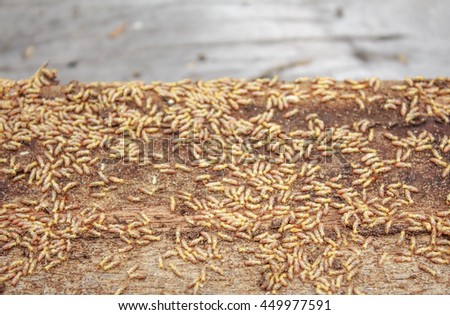 Termites running through tunnels and eating wood - stock photo