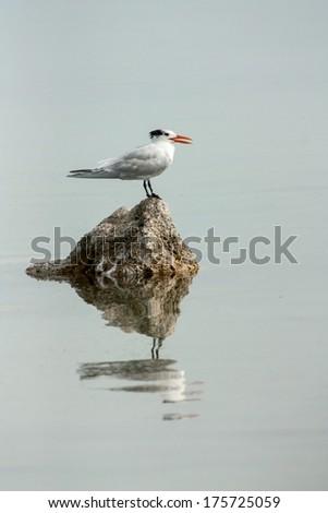 tern - stock photo