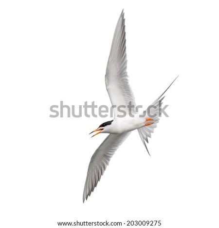 Tern in flight  - stock photo