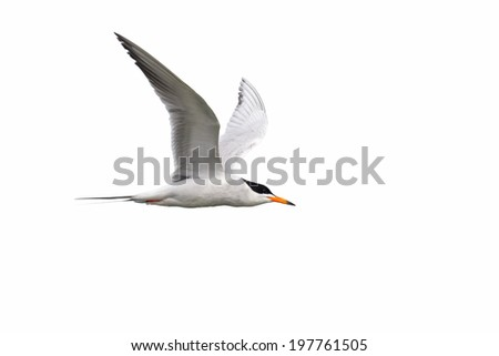 Tern in flight on white background. - stock photo