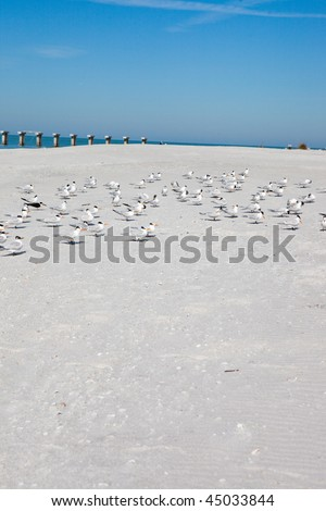 Terns at rest on sandy white beach of Florida