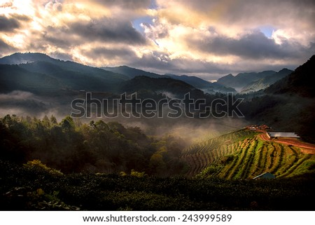 Terrace of tea with the morning mist, at doi angkhang in Chiangmai,Thailand - stock photo
