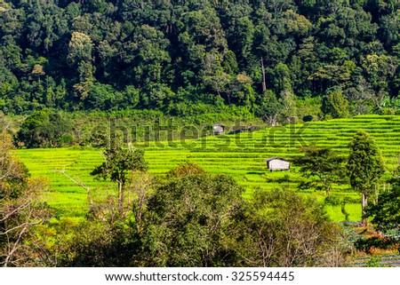 Terrace Rice Field - stock photo