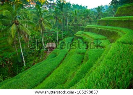 Terrace rice fields on Bali island, Indonesia. - stock photo