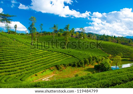 Terraced green tea fields with blue sky - stock photo