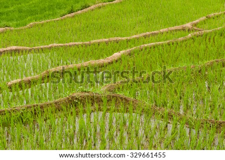Terraced paddyfields with young rice plants in water - stock photo