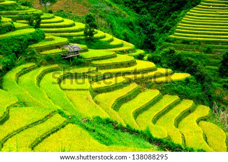 terraced rice field in sunshine, Yen Bai, Vietnam ,go between th - stock photo