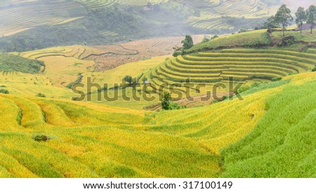 Terraced rice fields in harvest season with a small tent/stilt house in between. This paddy rice farms are grown by Dao ethnic people in Y Ty, Lao Cai, Vietnam. Agriculture, cultivation. Panoramic
