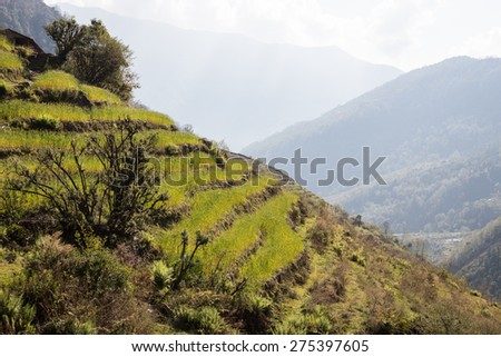 Terraced rice fields in Nepal - stock photo