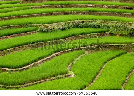 Terraced rice paddies - stock photo