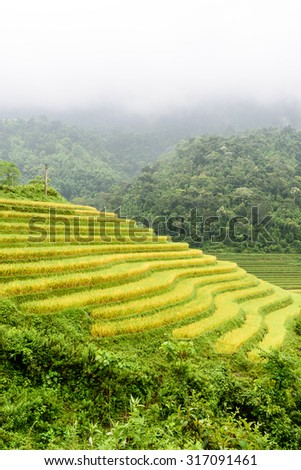 Terraced rice with green and harvest, golden fields in a misty, foggy morning. This paddy rice farms are grown by Dao ethnic people in Y Ty, Lao Cai province, Northern of Vietnam. Agriculture concept