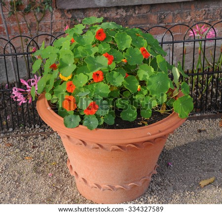 Terracotta Flowerpot Planted with Brightly Coloured Nasturtiums (Tropaeolum) in a Garden in Cheshire, England, UK - stock photo