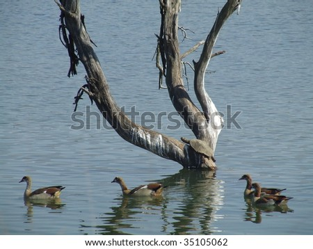 Terrapin and Egyptian geese - stock photo