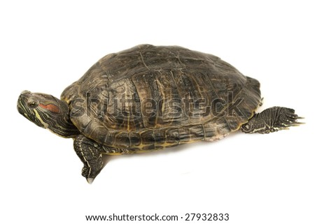 terrapin isolated on a white background.
