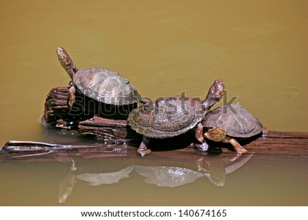 Terrapins hitching a ride - stock photo