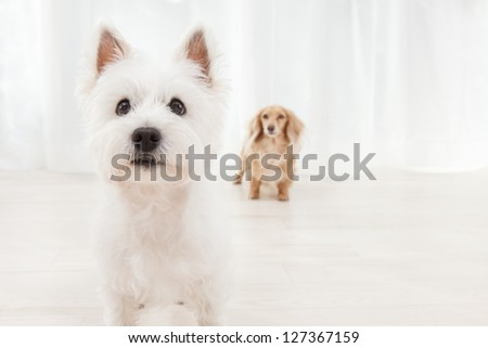 Terrier and dachshund in white background - stock photo