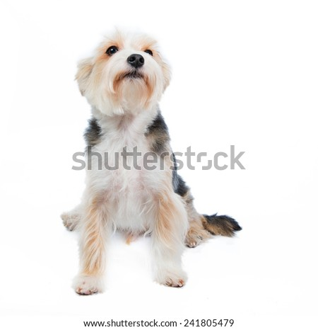 terrier dog in studio on the white background asking something - stock photo
