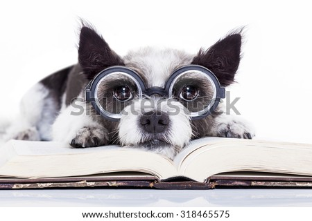 terrier dog reading a book with nerd glasses, looking smart and intelligent, isolated on white background - stock photo