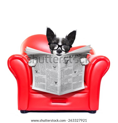 terrier dog reading newspaper on a red sofa , couch, or lounger , in living room , isolated on white background - stock photo