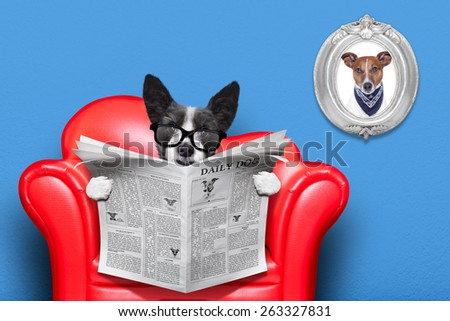 terrier dog reading newspaper on a red sofa , couch, or lounger , in living room , isolated on blue wall - stock photo