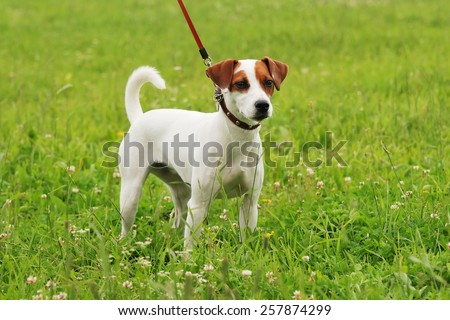 terrier for a walk