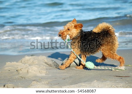 terrier is playing with his toy - stock photo