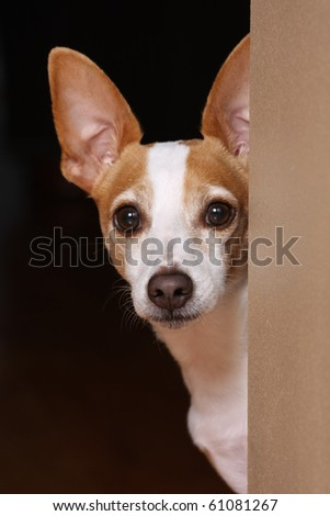 Terrier looking around a corner. - stock photo