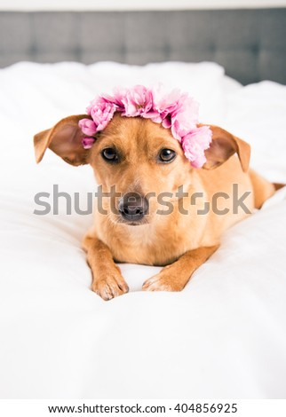 Terrier Mix Dog Wearing Pink Flowers Relaxing on White Sheets - stock photo