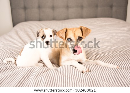 Terrier Mix Mother Playing with Her Puppy on Bed