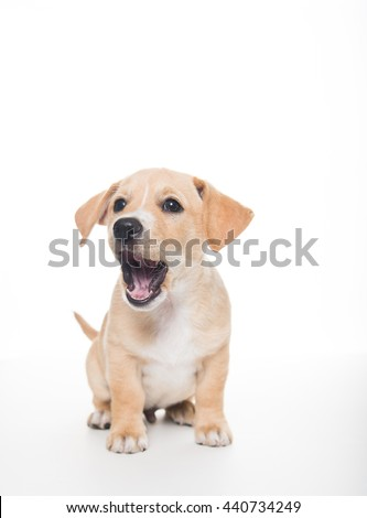 Terrier Mix Puppy Puppy on White Background - stock photo