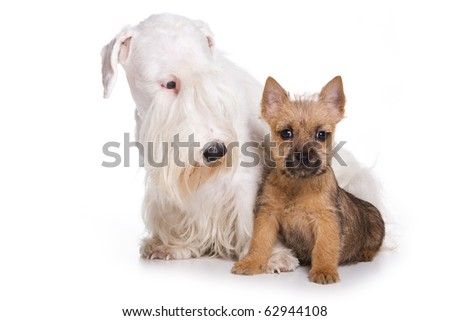 Terrier puppy isolated on white - stock photo