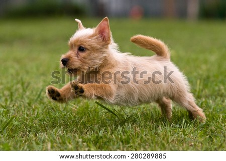 Terrier puppy jumping on the green grass, soft focus - stock photo