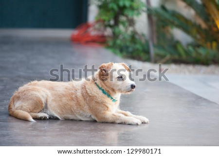 Terrier waiting for his family to return - stock photo
