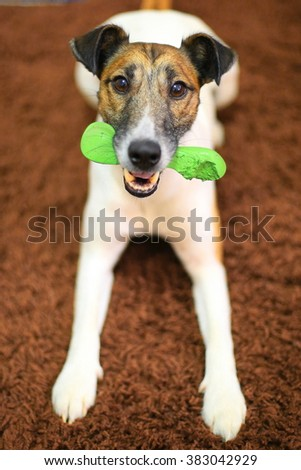 terrier with a bone - stock photo