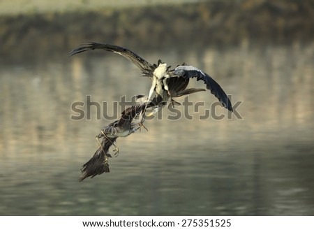 Territory fight of Grey Herons - stock photo