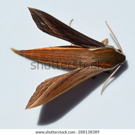 Tersa Sphinx moth in Mississippi - stock photo
