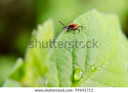 testing tick on spring leaf - stock photo