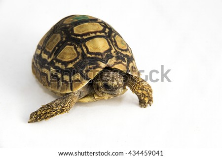 Testudo hermanni - a juvenile Hermann's tortoise on a white background. The tortoise is marked with a green marker, to be able to tell him apart from others. - stock photo