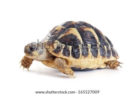 Testudo hermanni tortoiseon a white isolated background - stock photo