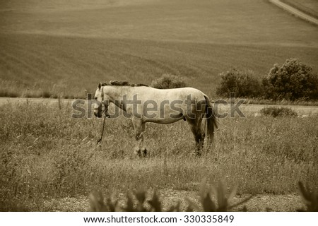 Tethered horse in the field at the evening dusk (Portugal). Selective focus on the horse. Blurred plants at foreground. Aged photo. Sepia. - stock photo
